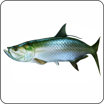 tarpon fish art wwwpixsharkcom images galleries with